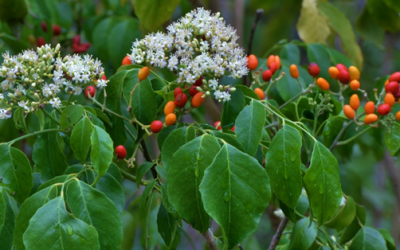 Lime Berry (Micromelum minutum)