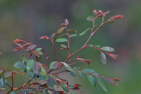 Coffee Bush (Breynia oblongifolia)