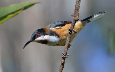 Eastern Spinebill (Acanthorynchus tenuirostris)