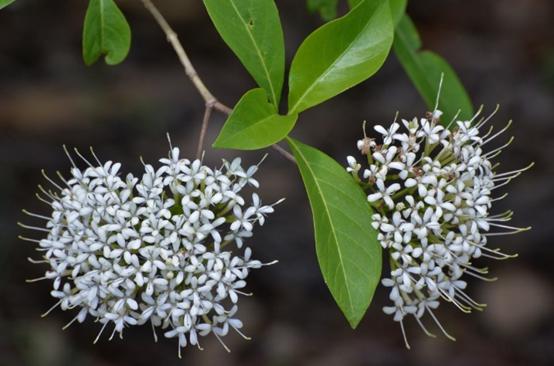 Pavetta (Pavetta australiensis)