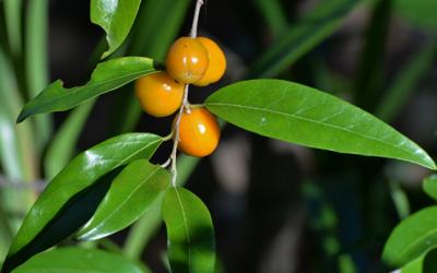 Quinine Berry (Petalostigma triloculare)