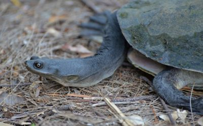 Eastern Long-necked Turtle (Chelodina longicollis)