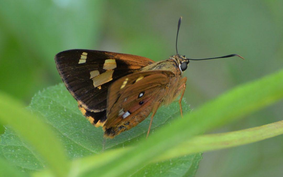 Splendid Ochre (Trapezites symmomus)