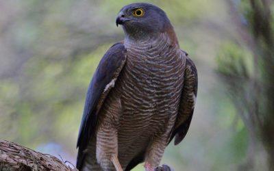 Collared Sparrowhawk (Accipiter cirrhocephalus)