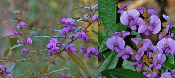 Purple Bush Pea (Hovea acutifolia)